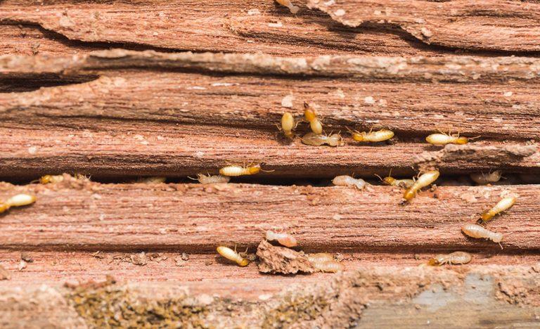 Home Has Termites